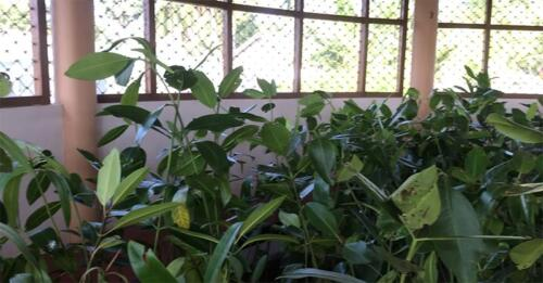 Comparatively healthier plants at the Fisheries Community hall