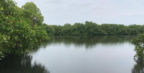 Lush mangroves