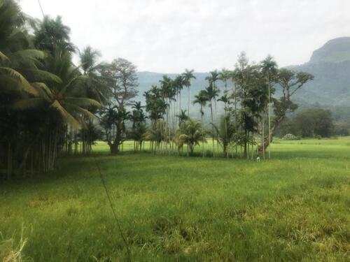 Rice farming with the KCF in the background