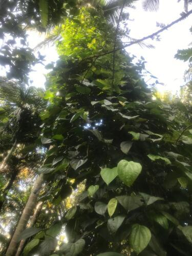Pepper cultivation in Meemure