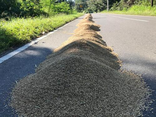 Rice drying on the roads
