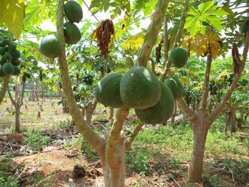 innovative-pruning-to-increae-yield