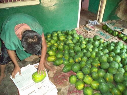 papaya-harvest-sorting