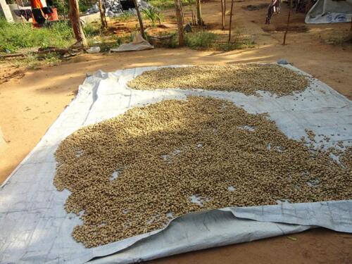 peanut-harvest