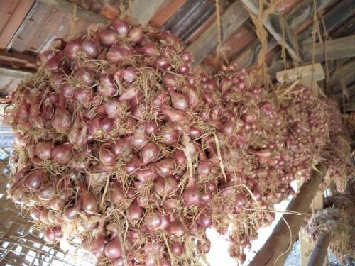 red-onion-drying-northern-province-1