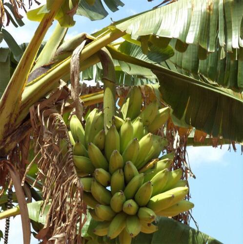 uniqu-banana-varieties-growing-in-the-north